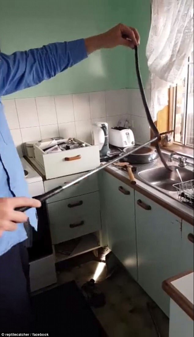Snake handler tears Queensland kitchen apart  Daily Mail