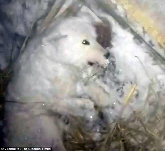A cruel dog owner deliberately froze his loyal pet to death by pouring cold water over the animal and putting it outside in the minus 32C cold in Russia