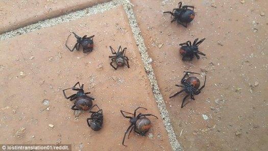 Un propietario horrorizado ha encontrado ocho arañas redback mortales en el alféizar de la ventana tras las fuertes lluvias en Victoria durante el fin de semana