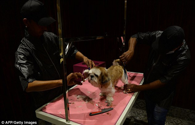 Hotel workers give one of the dogs a hair cut at the luxury facility in India