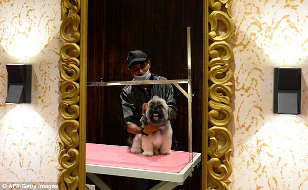 After undergoing his pampering, one of the dogs checks out his new appearance in the mirror