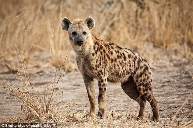 For animal expert Gordon Grice, falling victim to a hyena would be one of the worst deaths as they will eat people alive