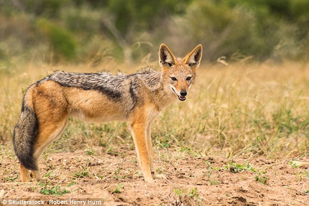Jackals are more of a threat to smaller people and children. The wild dogs usually work in a pack to rip apart flesh