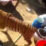 Indian wedding crashed by tiger as guests run for cover