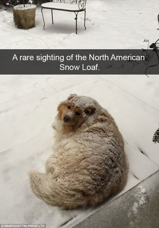 The cold is clearly no issue for this pup as he chills out in the winter snow looking rather similar to a loaf of bread