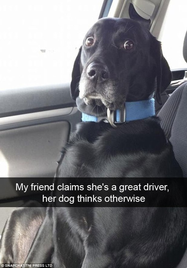 One owner's judgmental Labrador looked like she wanted to be let out of the car while her owner was driving
