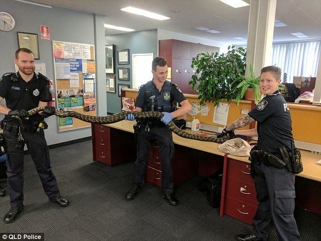 Two enormous snakes weighing more than 15 kilograms have been seized from a Brisbane house after a public tip-off (one python pictured)