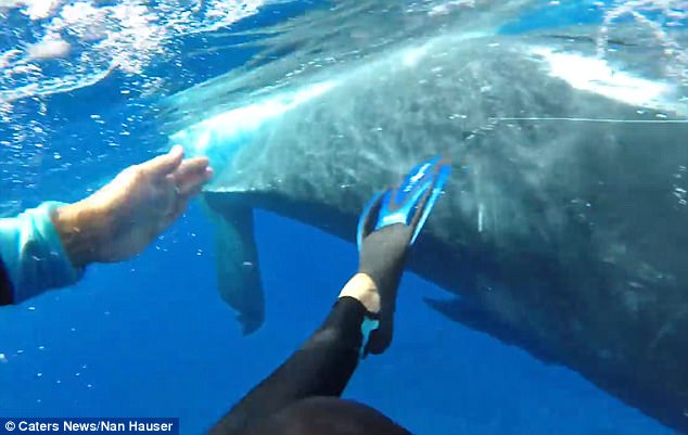 https://i0.wp.com/i.dailymail.co.uk/i/pix/2018/01/08/15/47E3C91700000578-5246175-_I_ve_spent_28_years_underwater_with_whales_and_have_never_had_a-a-4_1515426243733.jpg?w=1060