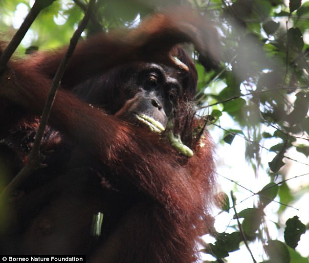 Orangutans may have knowledge of medicines unknown to humans, a study has found. The great apes have been filmed chewing plants into a lather (pictured) - which they then use as an 'ointment' on their aching limbs