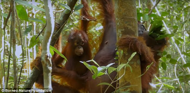 Researchers from the Borneo Nature Foundation have filmed the apes since 2003 – collecting over 20,000 hours of recordings