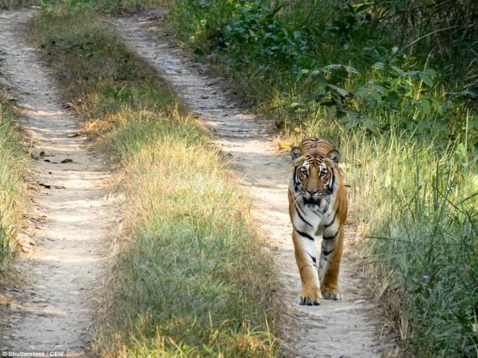 Majestic: One of the best places to spot tigers is in Rajasthan, though Kanha and Pench are also popular among visitors