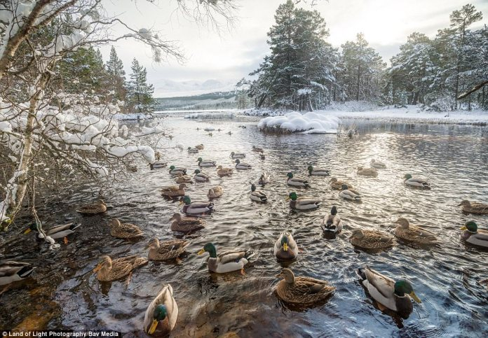 Ducks gather on Loch Morlich, at the foot of the Cairngorns in the Scottish Highlands, after snow covered the area last night