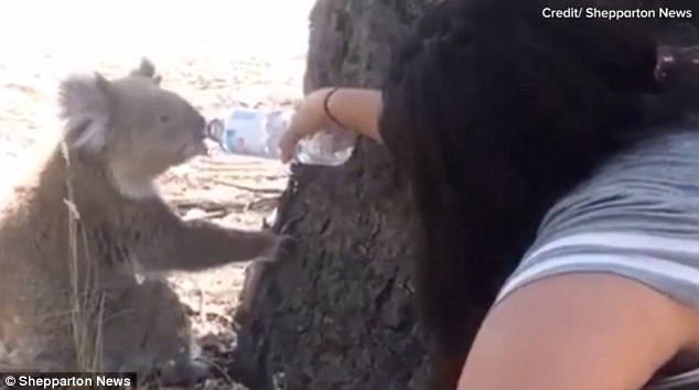 Tahlia helped hydrate the koala with three bottles of water after it come down from the tree
