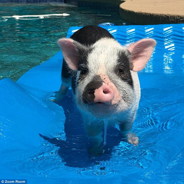 Sunbathing: The adorable pig loves the water and often goes for a dip at his local pool, or even tries to sneak into the shower with his owner Maddie