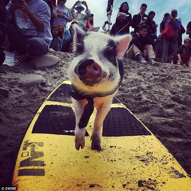 Surfer: Pickles, who is half pot-belly pig and half Juliana, loves the water and often goes for a dip at his local pool and loves to go surfing at the beach