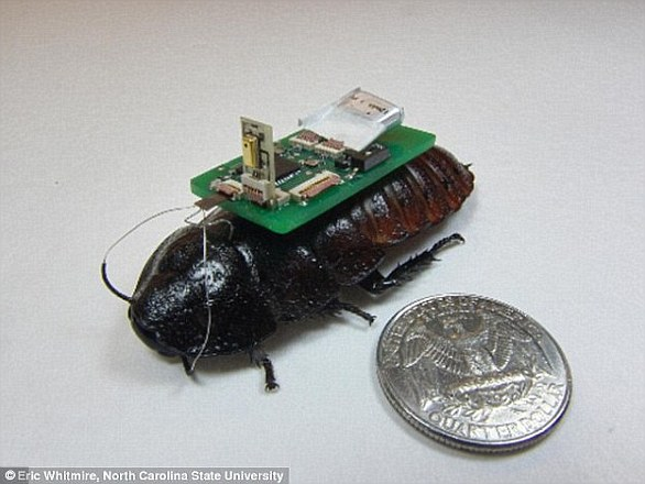 Researchers at North Carolina State University have developed a technology that allows cockroaches (pictured) to pick up sounds with small microphones and find the sound source. They could be used in emergency situations to detect survivors
