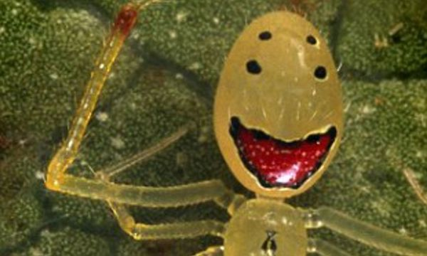 happy face spider  # 70
