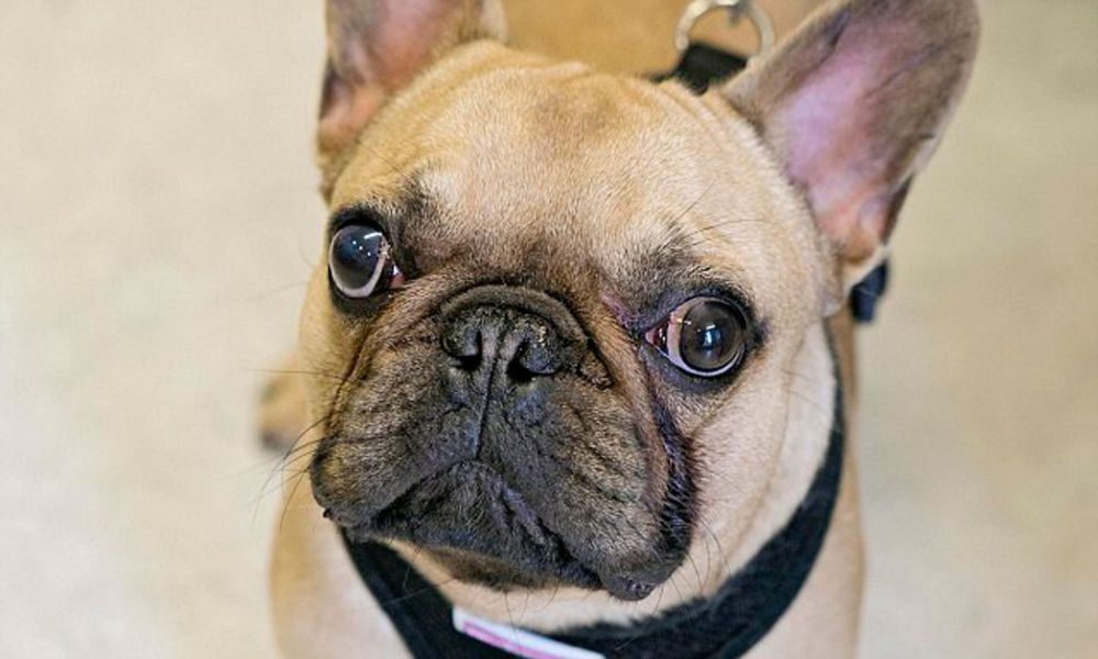 medium resolution of breeding cute pugs and bulldogs is leaving species with crippling health problems