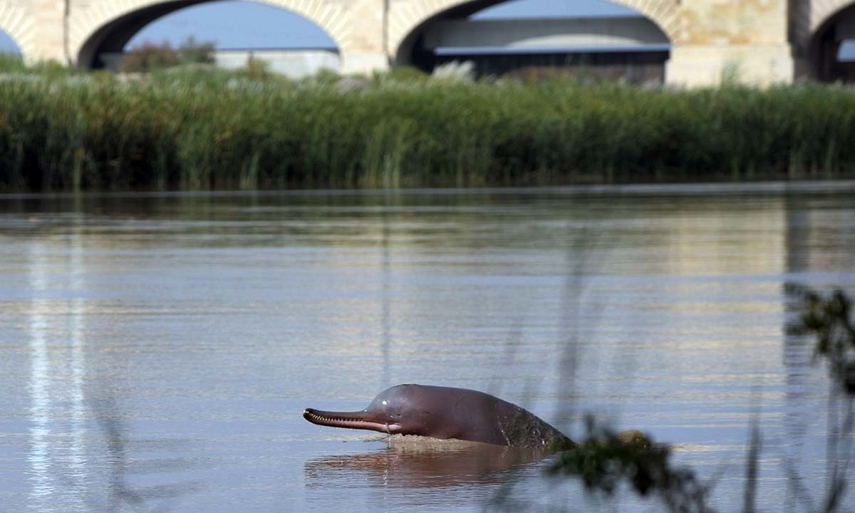 In this photograph taken on September 13, 2014, a blind dolphin swims along the Indus river in the southern Pakistani city of Sukkur. - AFP