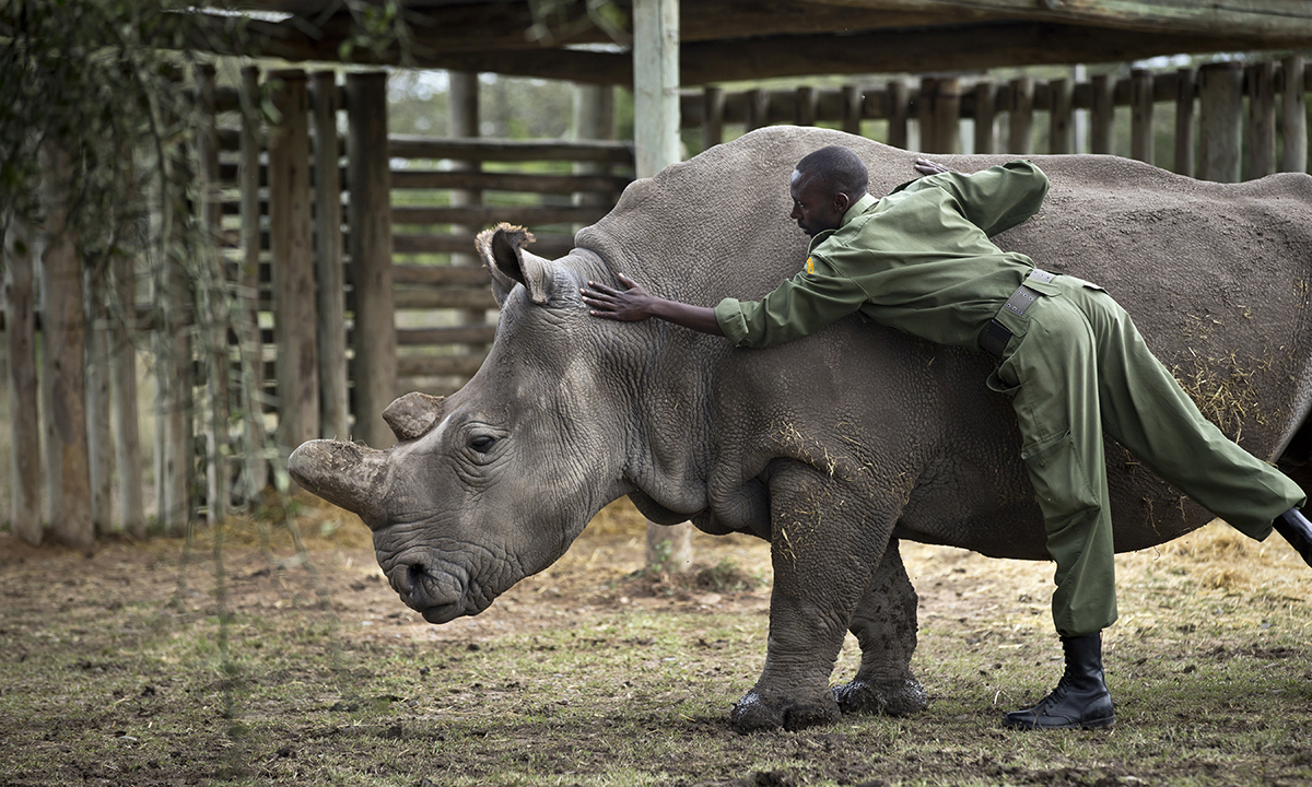 Keeper Mohamed Doyo leans over to pat female northern white rhino Najin in her pen where she is being kept for observation.— AP