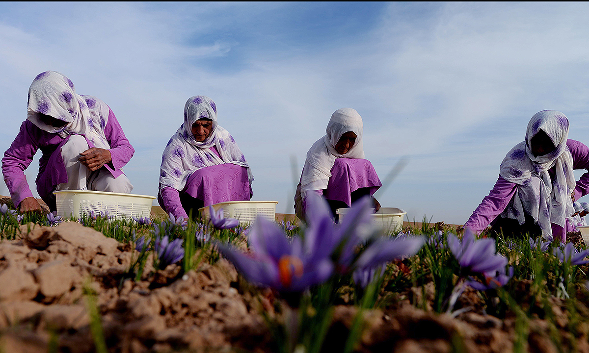 Workers picking saffron flowers in the Ghoriyan District of Herat.- AFP