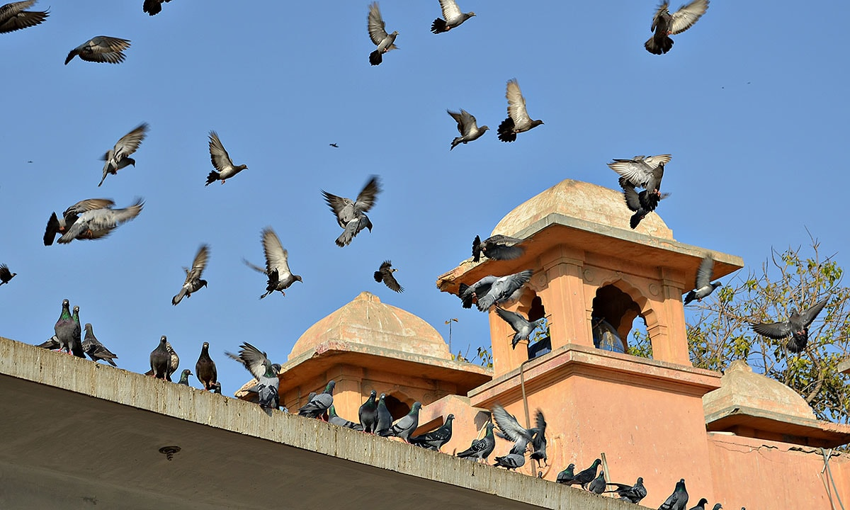 Image result for pigeons on the temple roof