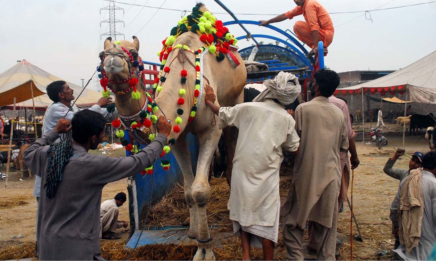 Sacrificial animals wait for their buyers at a make-shift sacrificial animals market established for the upcoming festival Eidul Azha, in Gujranwala. — PPI