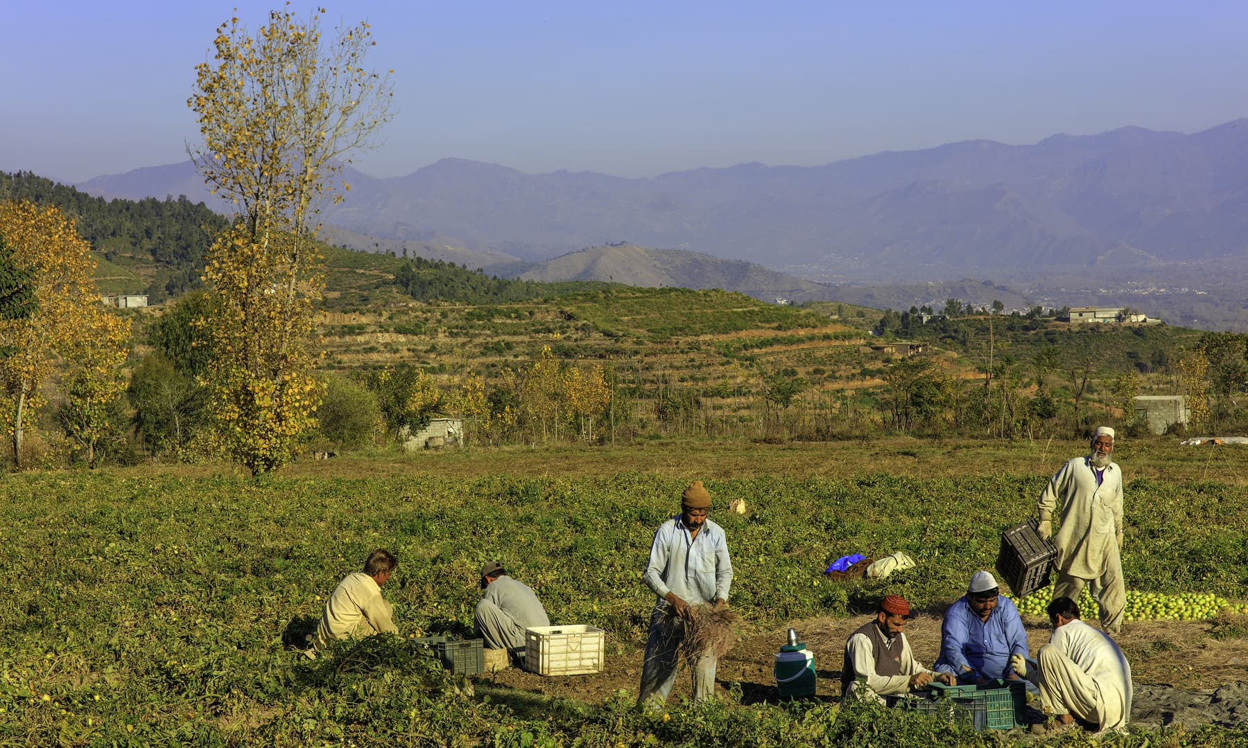 Labourers working in a field in Khwazakhela.