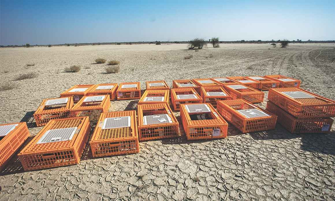 Empty cages at Lal Suhanra National Park in Bahawalpur after 200 houbara bustards were set free | Mohammad Ali, White Star