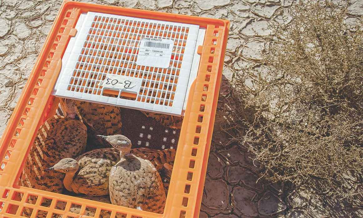 Captive bred houbara bustards brought in from the UAE to Pakistan | Mohammad Ali, White Star
