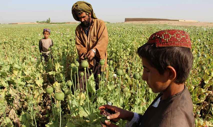 Afghan farmers seen harvesting opium sap from a poppy field in the Gereshk district of Helmand.─AFP