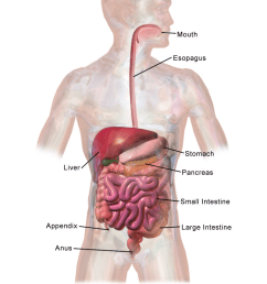 file adult digestive system p [ 768 x 1024 Pixel ]