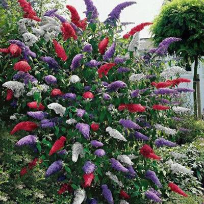 20 pcs Bunte Schmetterling Busch Samen Sommerflieder Blumen Duft Pflanzen schön