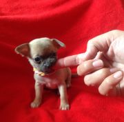 gorgeous small chihuahua puppies