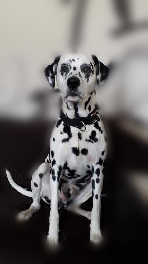 Full breed Dalmatian looking for a new home   in Paisley ...