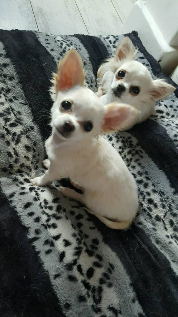 Chihuahua White Long Hair In Newtownabbey County Antrim