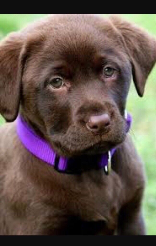 Pink Wallpaper With Cute Puppy Golden Retriever Chocolate Labarador Puppies Goldenacresdogs Com