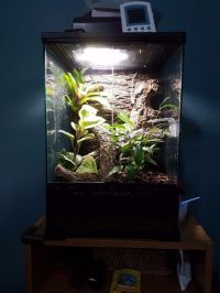 Crested gecko with complete bioactive setup | in Perry ...