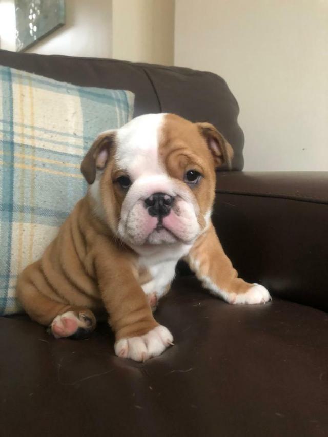 british bulldog puppies for sale | in pontypridd, rhondda cynon taf |  gumtree