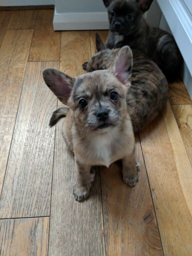 merle pomeranian x french bulldog boy pup ready now fully vaccinated | in  sutton, london | gumtree