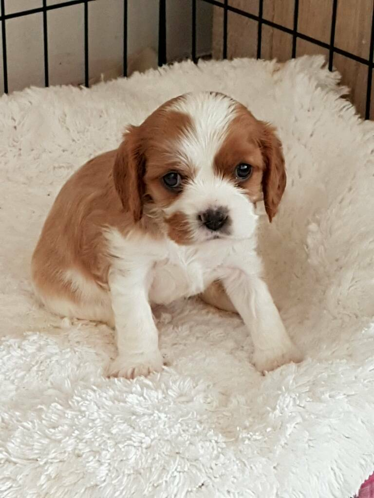 Cavalier king charles spaniel puppies for sale | in Essex | Gumtree
