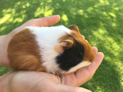 Image result for guinea pig in someone's hand