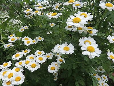 Mutterkraut * Heilpflanze * 500 Korn * frisch *handverlesen*Tanacetum parthenium