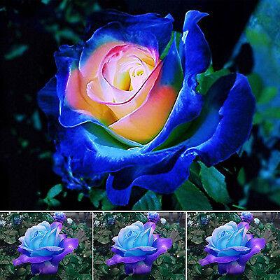 50stk seltene blau rosa Rosen Samen Balkon Garten Getopfte Rose Pflanzen Blumen