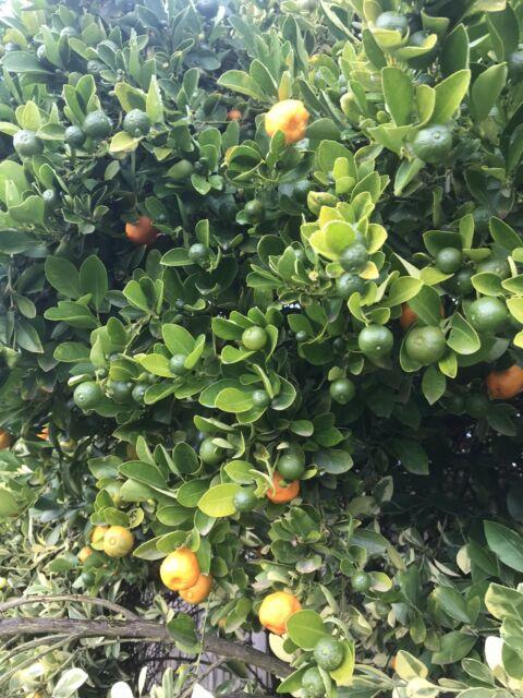 Large mature Kumquat tree   Plants   Gumtree Australia ...
