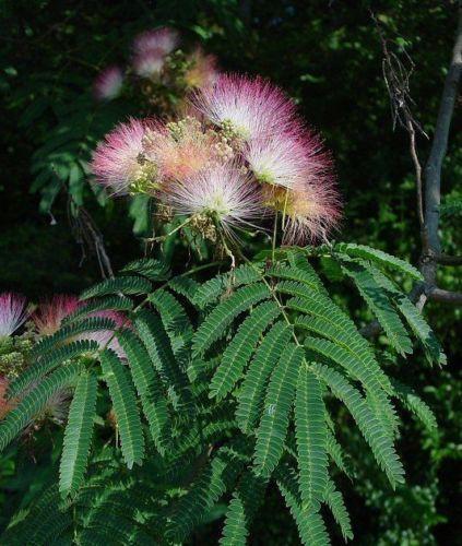Mimosa Tree eBay