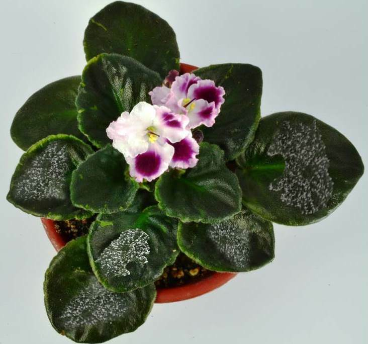 Powdery Mildew on African Violet Plant Leaves