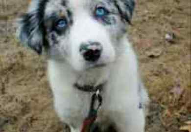 Blue Merle Dogs Puppies For Sale Gumtree