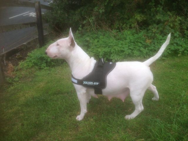 quality english bull terrier pups kc reg.   in crook, county durham    gumtree