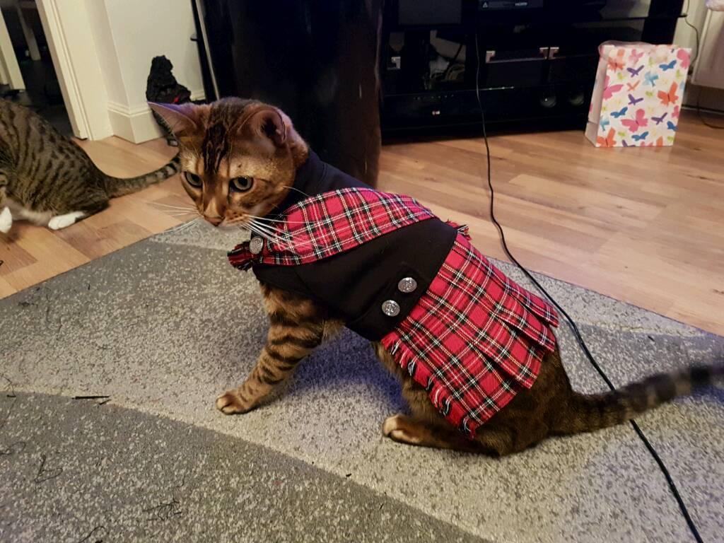 Cat, dog kilt, pet outfit, pet costume